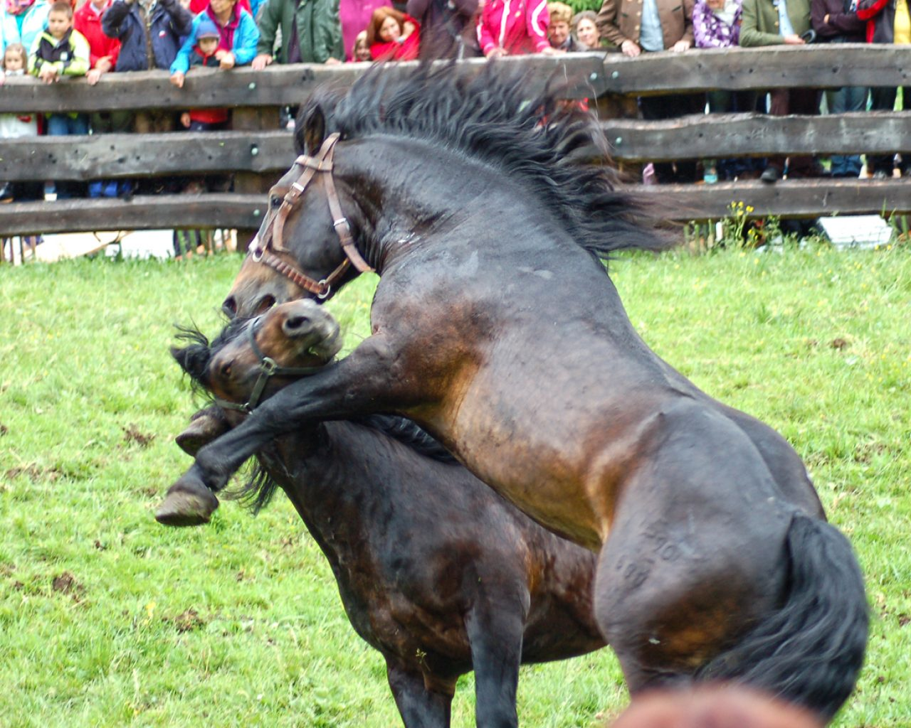 Pferdekämpfe
