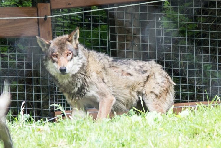 Zwei junge Wölfe sind seit Mai wieder im Wildpark heimisch.