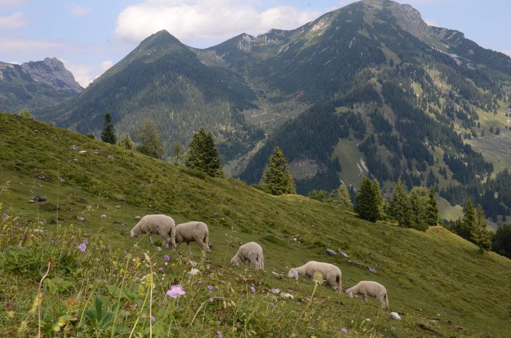 Schafe lassen sich's schmecken