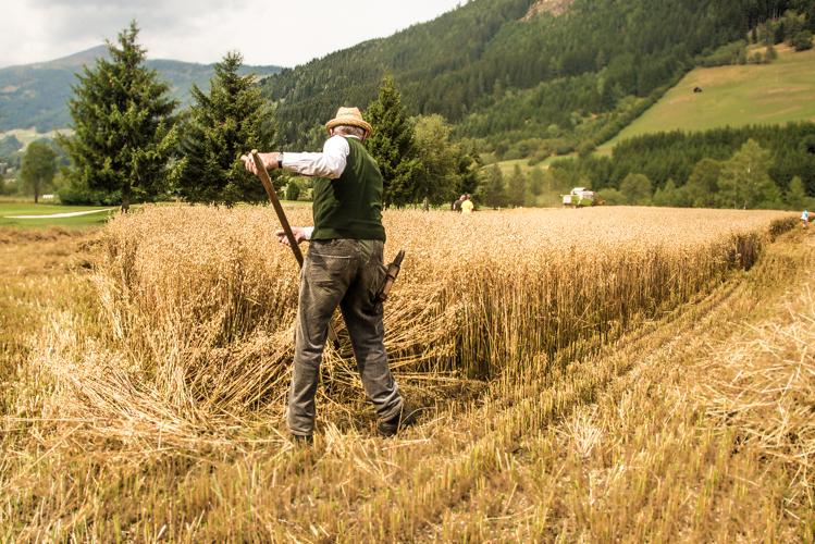 Franz mäht ruhig und rhythmisch während im Hintergrund der Mähdrescher laut und dröhnend das reife Korn erntet.
