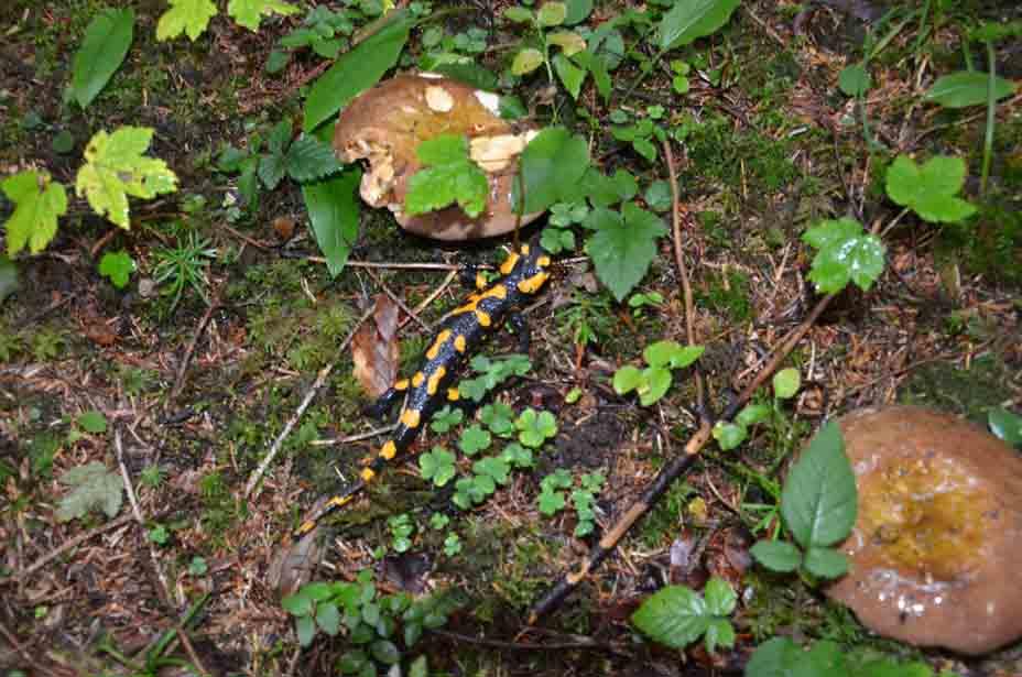 Salamander sucht Schutz
