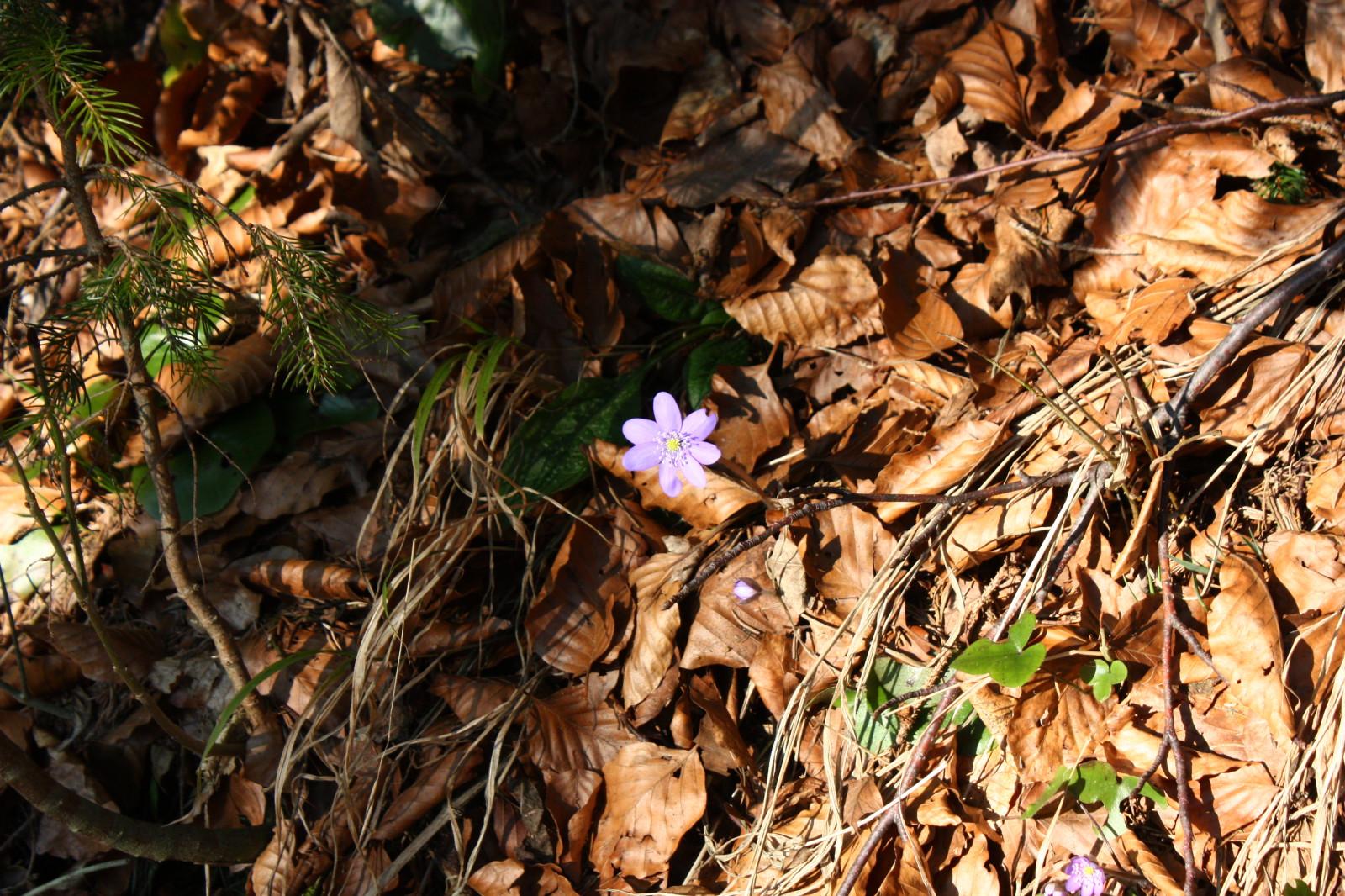 Frühlingsanfang: Zarte Blümchen blinzeln schon durch.