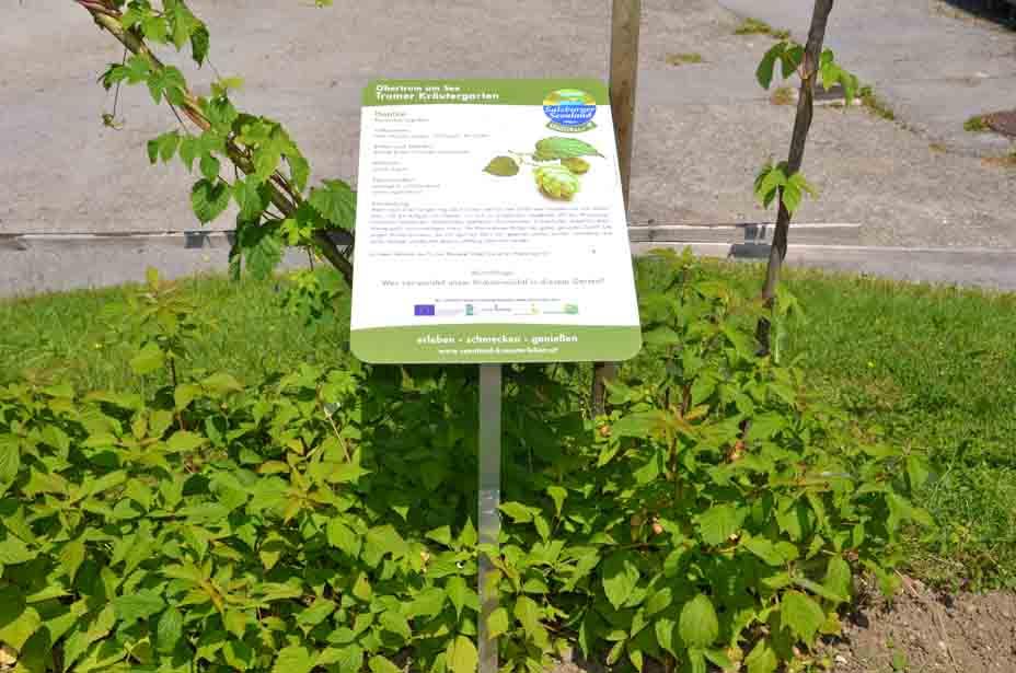 Hopfen beim Trumer Kräutergarten