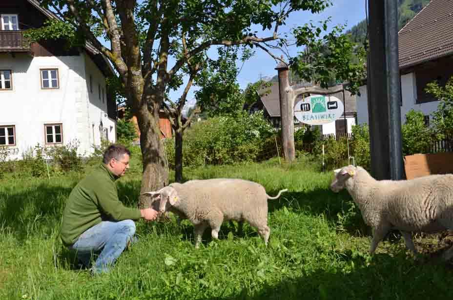 Wirt und Bauer Hannes Mayr begrüßt seine Schafe