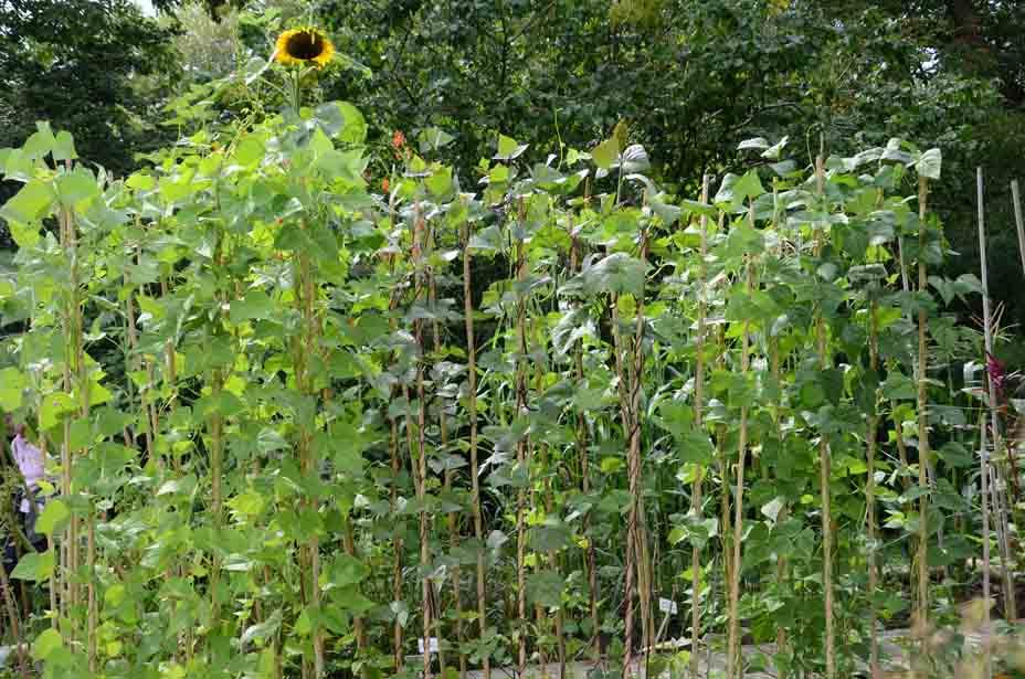 Bohnen mit Sonnenblume