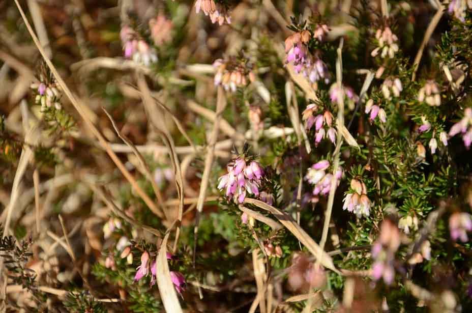 Blütenglöckchen zartrosa ...