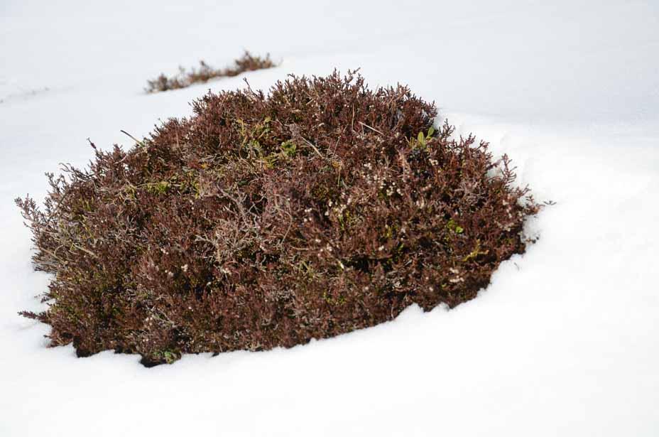 Schneeheide lugt aus dem Schnee
