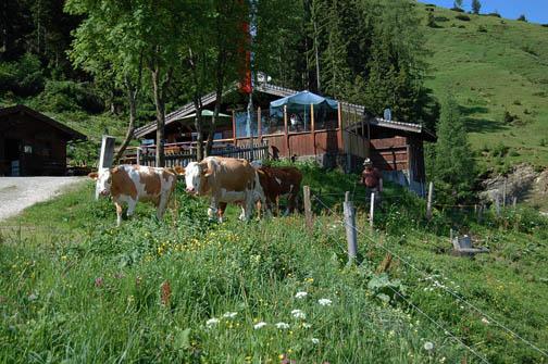 Kühe gehen auf die Almweide