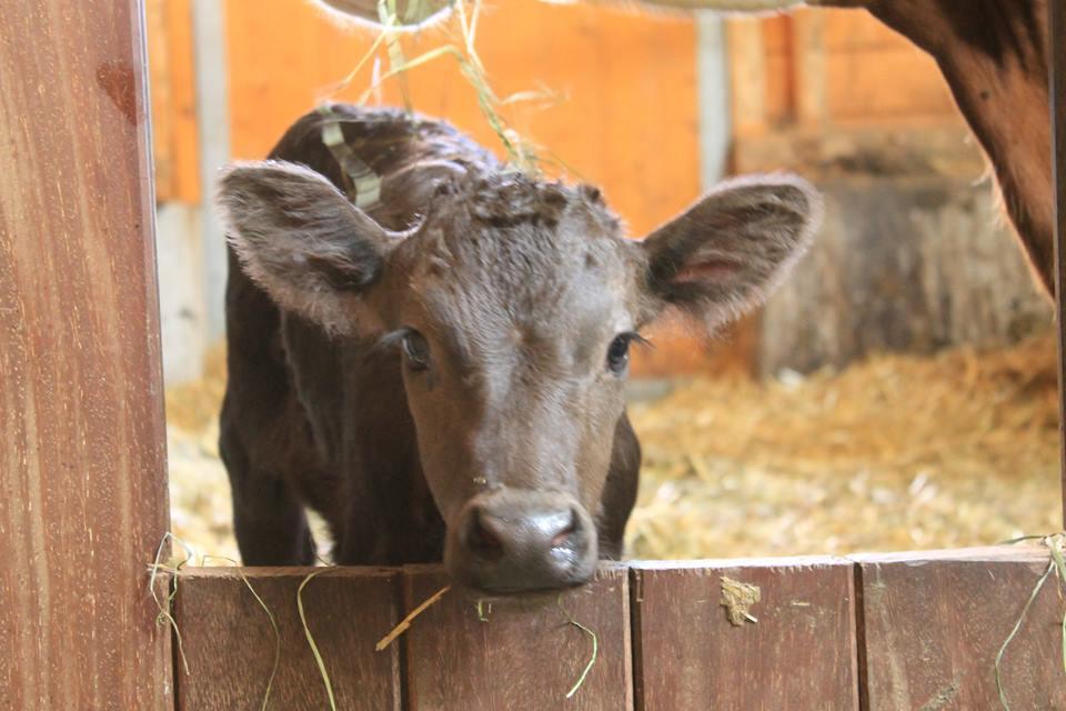 Ein Wagyu Baby im Stall. Diese Rinder brauchen besonders viel Zuneigung und Aufmerksamkeit. Dafür sind sie am Hof der Obingers genau richtig. ©Prime Beef