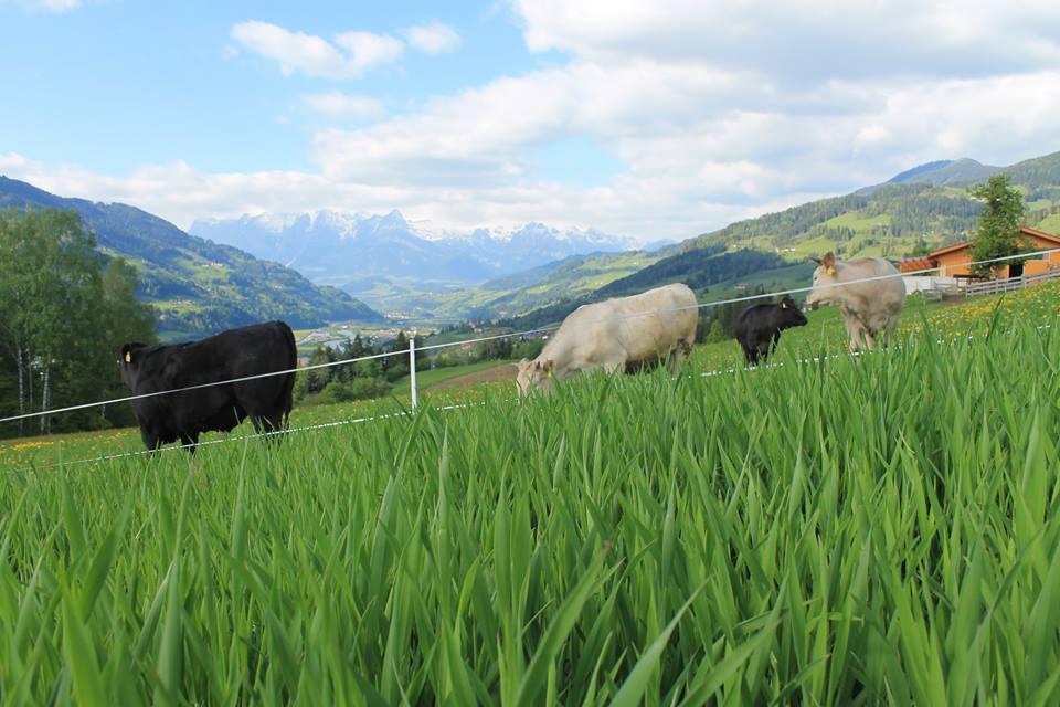 Glückliche Tiere sind die Grundlage des Zederberghofs. ©Prime-Beef