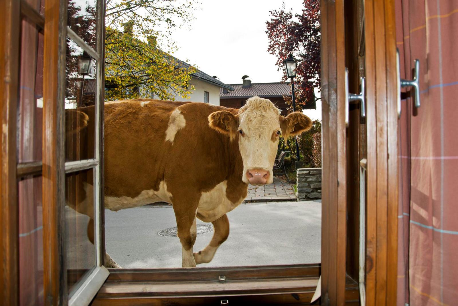 Auch die Kühe schauen auf ihrem täglichen Weg zum Stall beim wohnZimma vorbei.