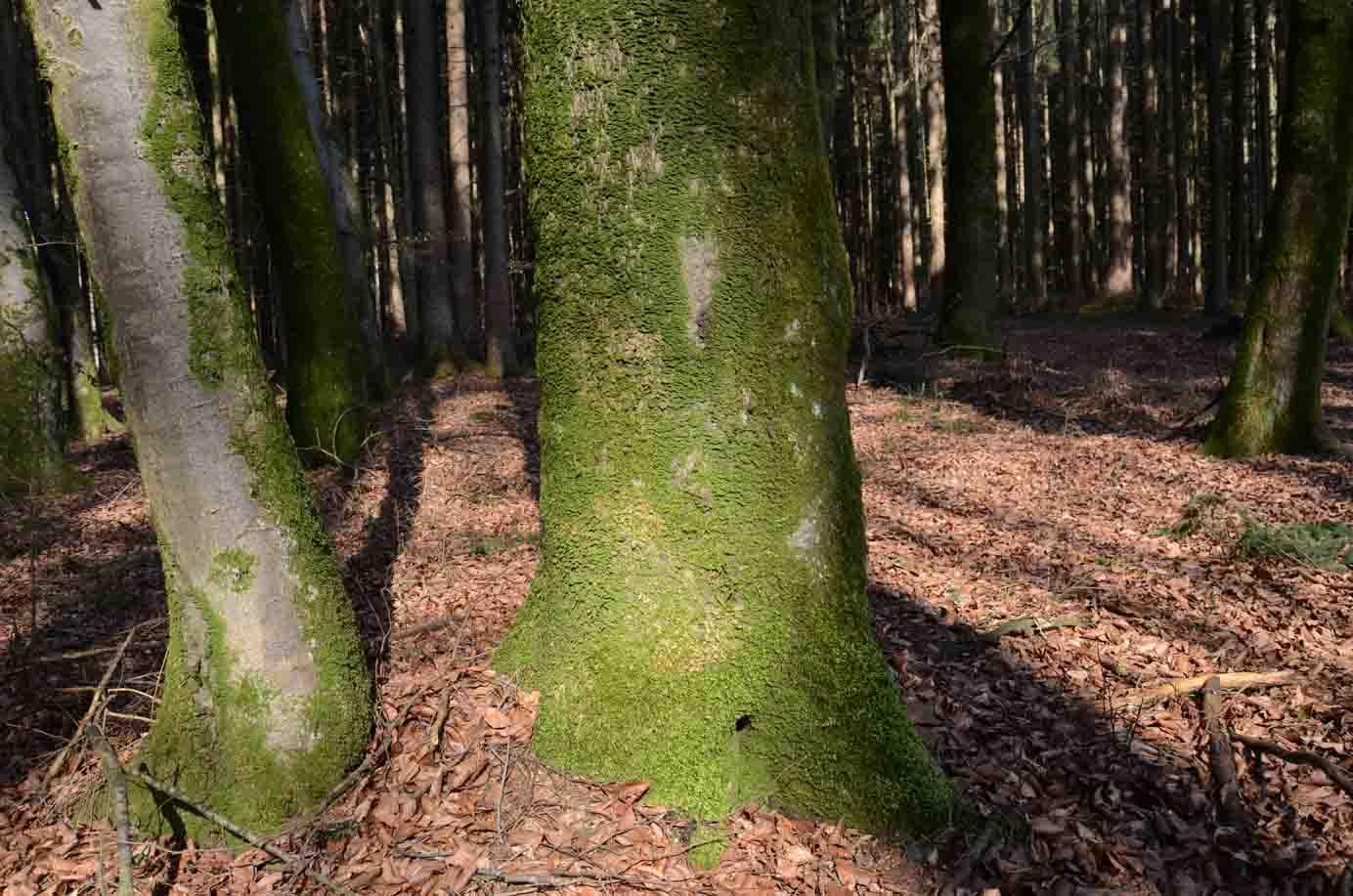 Moos wächst auf Bäumen ...