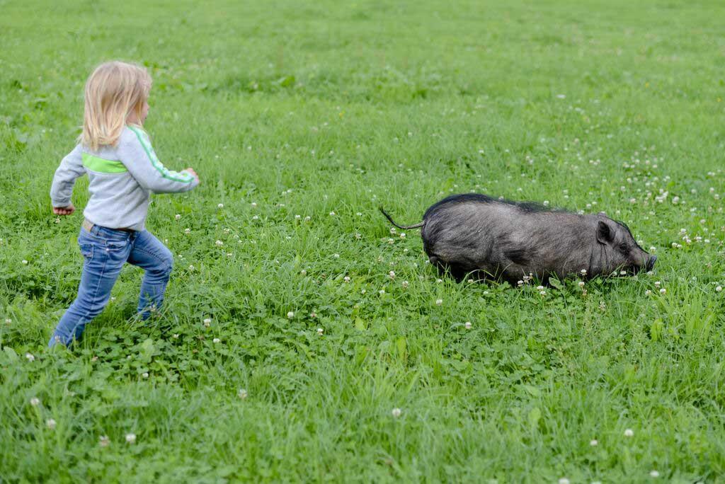 Nachlaufspiel mit dem Schwein
