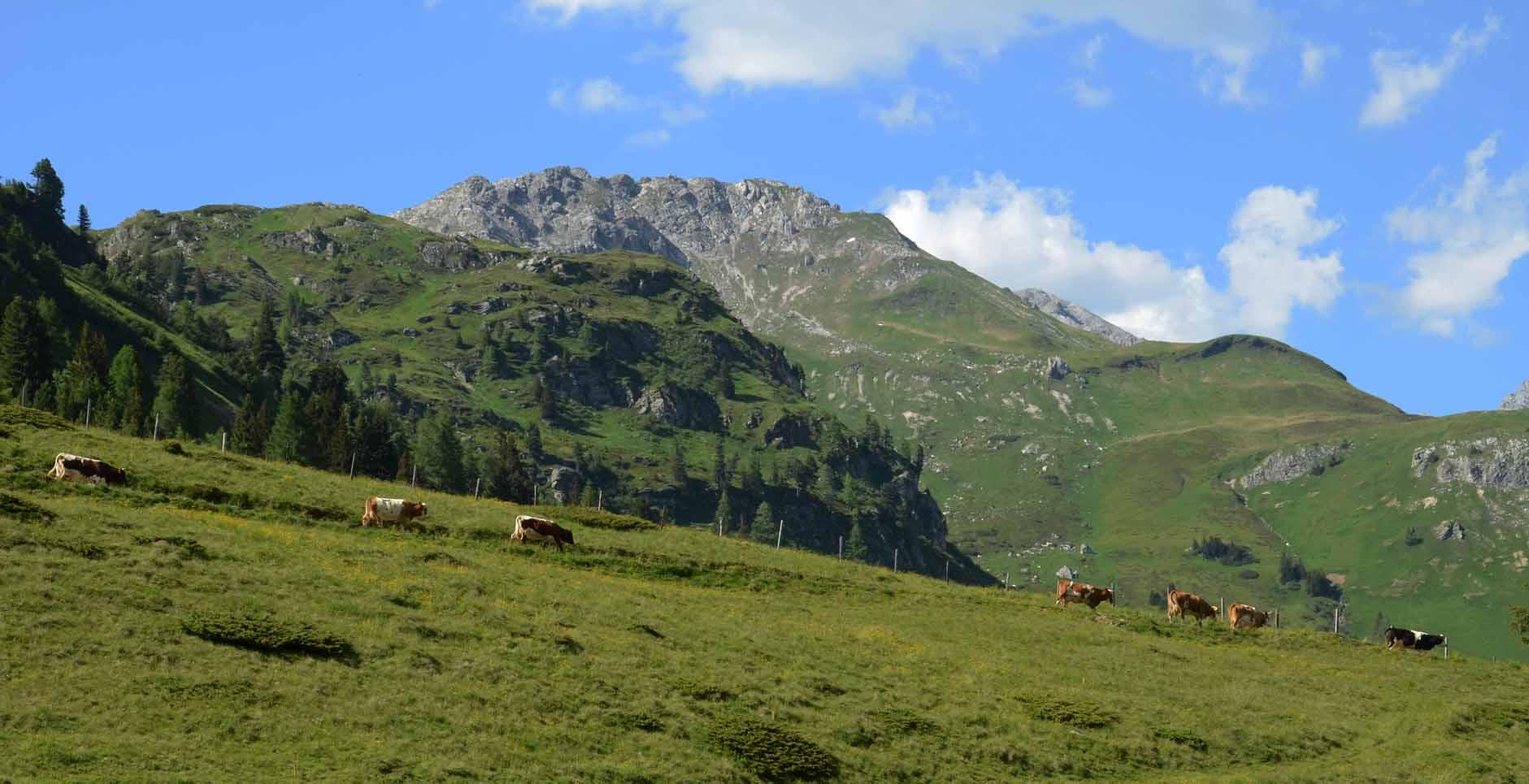 Kühe auf ihrer Weide