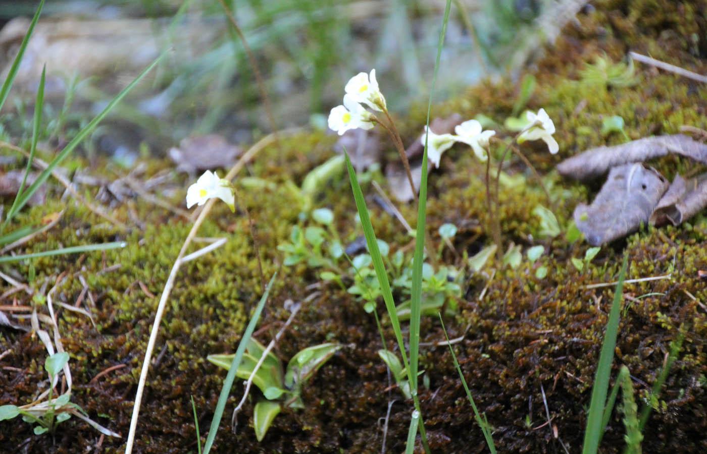 Das Alpenfettkraut ist eine seltene, fleischfressende Pflanze und sehr häufig in sumpfigen Gebieten zu finden