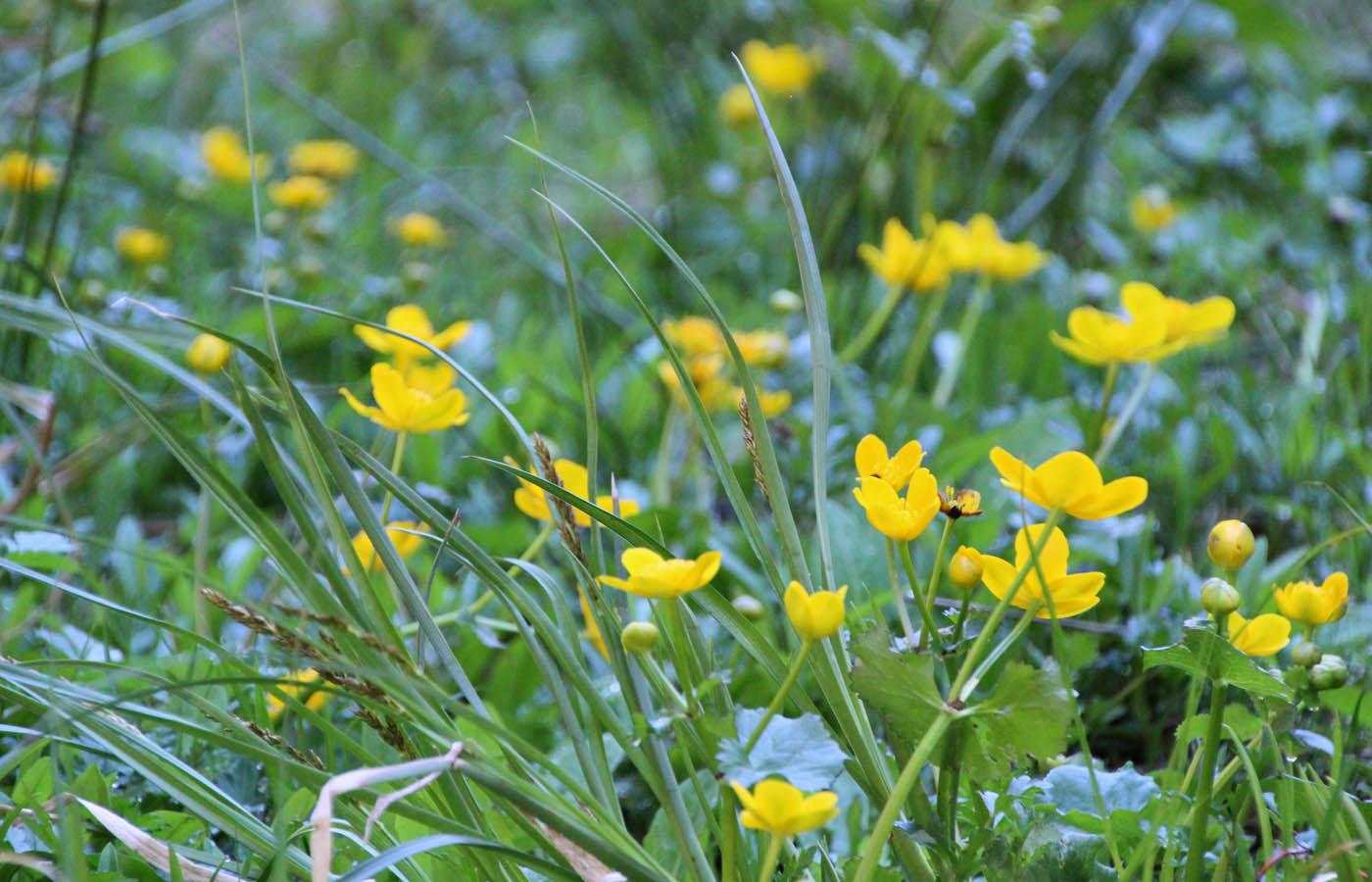 Die Sumpfdotterblume wächst in Sumpfwiesen, an Quellen, Bächen und Gräben