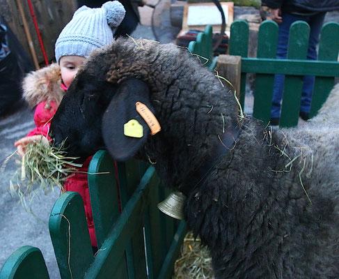 Schafe zum Füttern ...