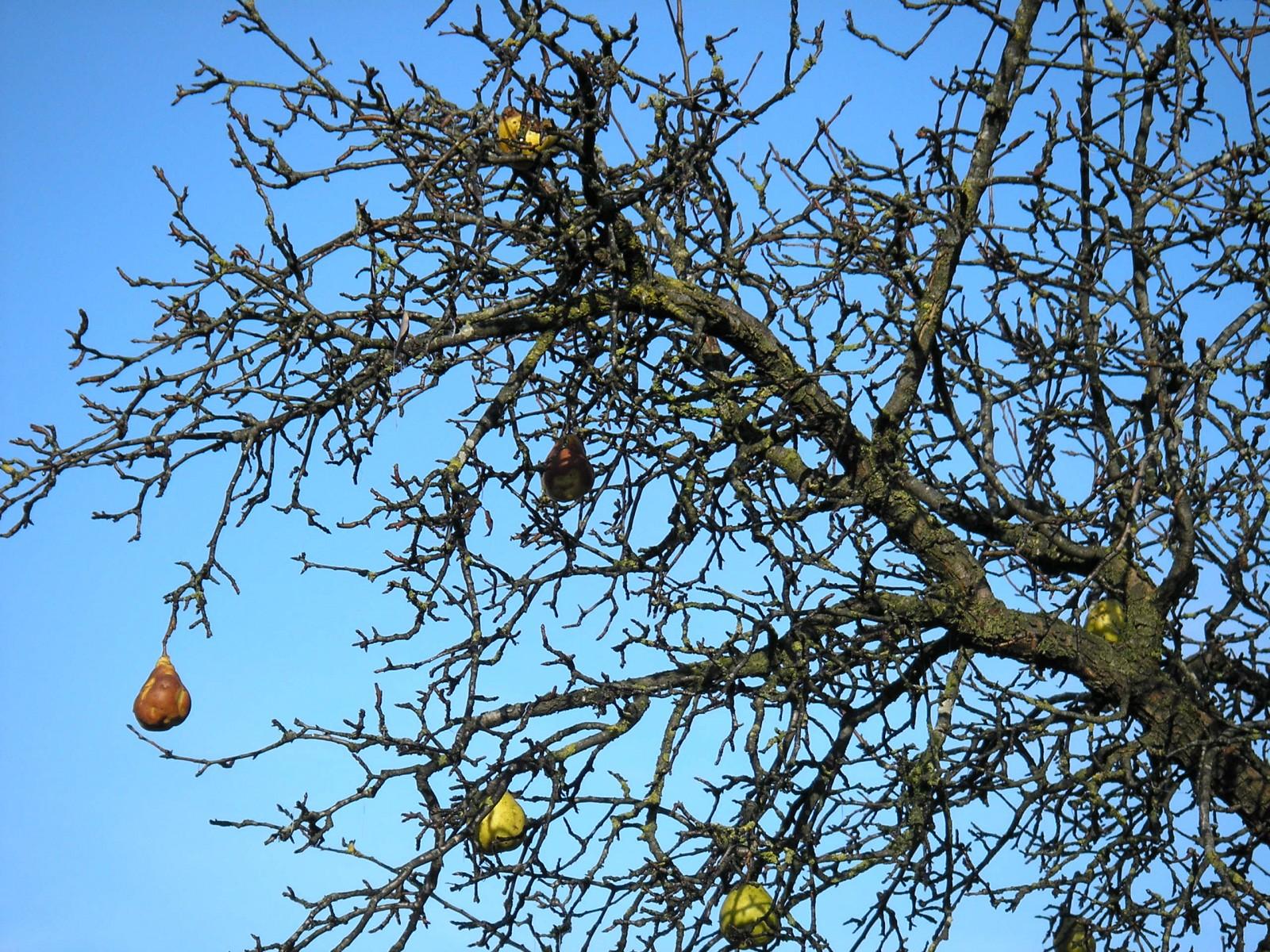 Apfelbaum entlang der Bahntrasse