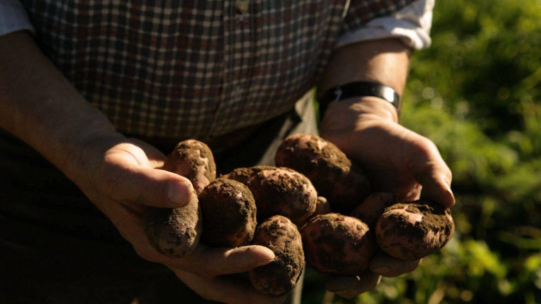 frisch geerntete Kartoffeln mit Erde