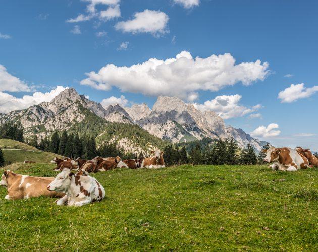 Kühe rasten auf der Alm vor Gipfelpanorama
