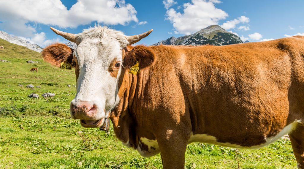 Kuh in Nahaufnahme auf der Alm