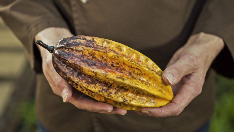 Eine Hand hält eine Kakaobohne