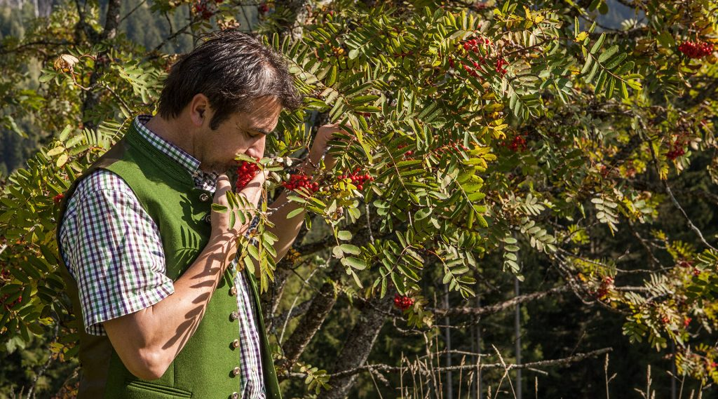 Farmer sniffing Rowanberries