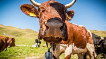 Kuh auf der Weide schaut neugierig, streckt den Kopf ganz nah zur Linse