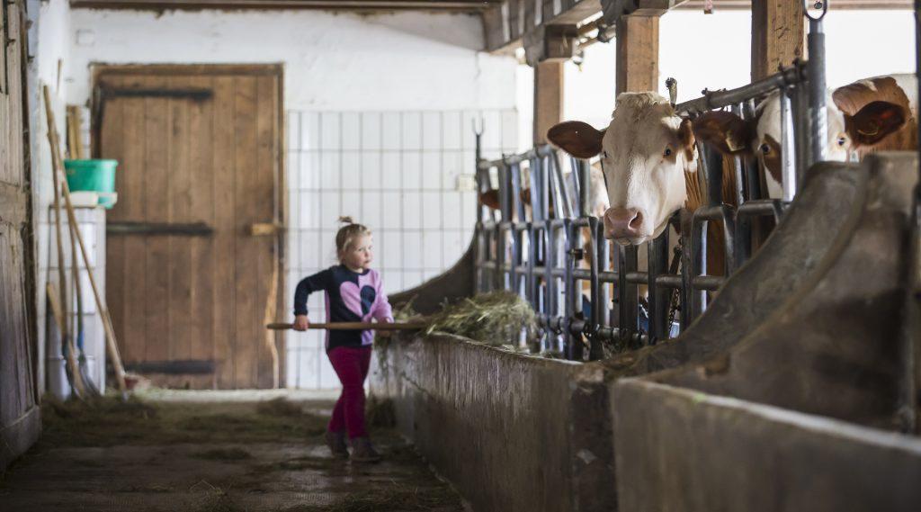 Kleines Mädchen beim Füttern der Kühe im Stall