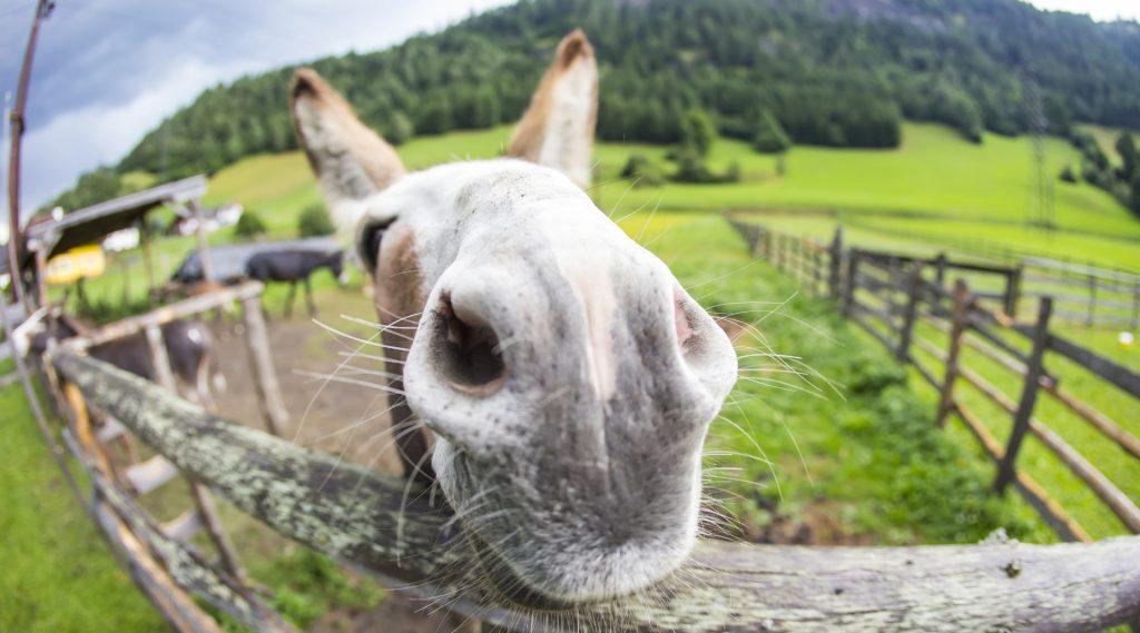 Esel streckt seine Nase über den Zaun
