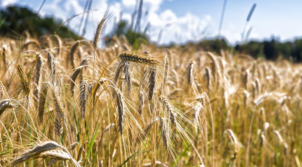 Wogende Ähren im Getreidefeld