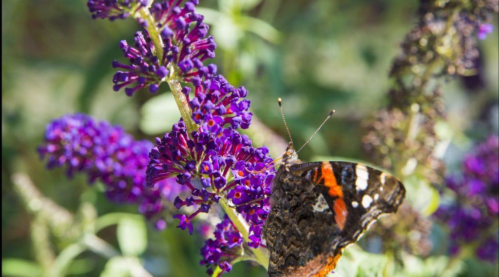 Schmetterling an einer lila Blütendolde