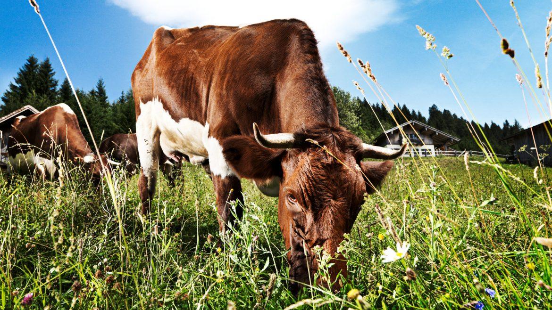 Kuh auf Wiese, Pinzgauer Rind