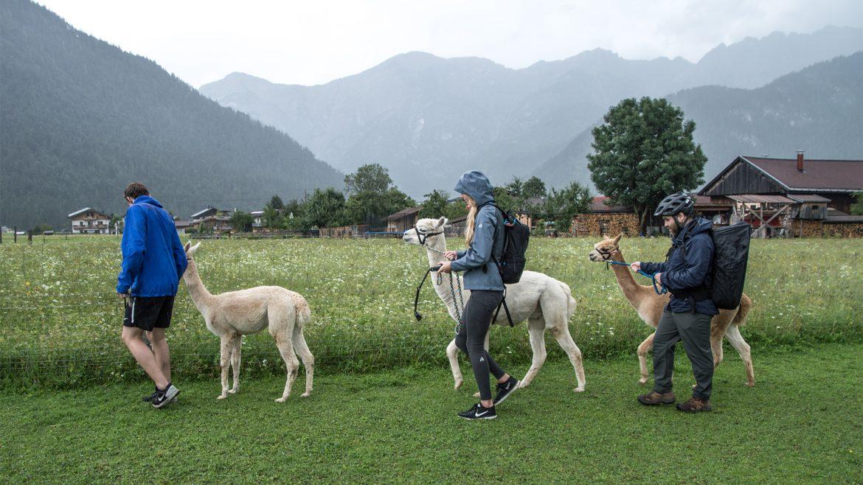 Alpaka-Spaziergang in Saalfelden