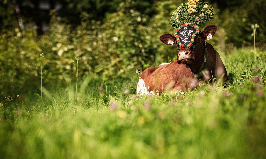 Kuh mit Kopfschmuck liegt auf der Wiese