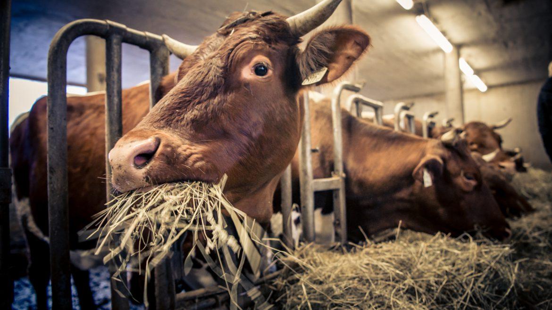 Kühe warten auf´s Melken (c) Edith Danze