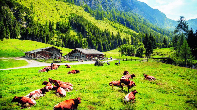 Malga e bestiame al pascolo nella valle di Rauris