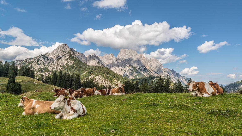 Krowy na alpejskiej hali z górskimi szczytami w tle